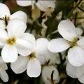 Арабіс альпійський: вирощування з насіння, посадка і догляд за рослиною
