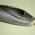 Болезаспокійливий знайдено в смертельному отруті чорної мамби