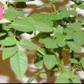 Хвороби і шкідники кімнатної троянди