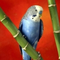 Хвороби дзьоба хвилястих папуг