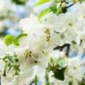 Якщо плодові дерева цвітуть, але не плодоносять ...