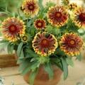 Гайлардія багаторічна (gaillardia): вирощування з насіння і фото видів