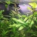 Гигрофіла многосеменная або індійська або болотник (hygrophila polysperma): фото, відео, вміст, розведення, купити
