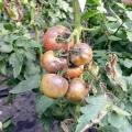 Як лікувати фітофтороз томатів