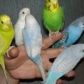 Як правильно вибрати папугу без сторонньої допомоги