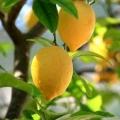 Як прищепити лимон