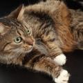 Ознаки вагітності кішки