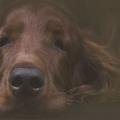 Яка найдобріша порода собак?
