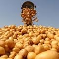 Які добрива вносити при посадці картоплі в лунку