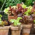 Які види салату вирощують на городі?