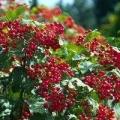 Калина - ягода корисна