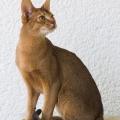 Коти з великими вухами: порода і фото