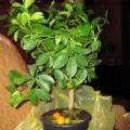 Красиві рослини з екзотичних фруктів