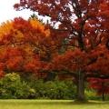 Червоний дуб - яскраве дерево