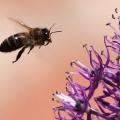 Лікування укусами бджіл або апіпунктура