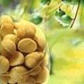 Масло макадамії