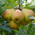 Дрібноплідні сорти груш