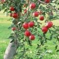 Нахиляємо і підв`язуємо гілки яблунь