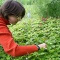 Обробка суниці навесні від хвороб і шкідників
