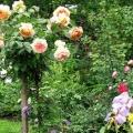 Обрізка плакучих штамбових троянд
