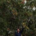 Окуліровка плодових дерев. Поради садівникам
