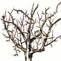 Вікові періоди плодових рослин
