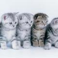 Породи кішок