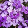Садовий квітка флокс однорічний - вирощування з насіння і догляд