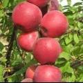 Секрети небувалого врожаю колонновидних яблунь