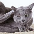 Симптоми алергії у кішок