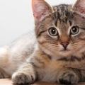 Як обчислити термін пологів у кішки