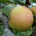 Сорт яблуні: дачні