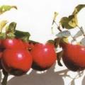 Сорт яблуні: сафарі