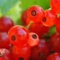 Сорт червоної смородини: дана