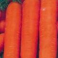 Сорт моркви: нантік резістафлай f1