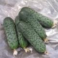 Сорт огірка: сатину f1