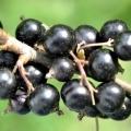 Сорт смородини чорної: нара