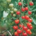 Сорт томата: десерт