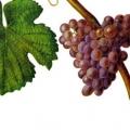 Сорт винограду: трамінер рожевий