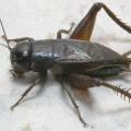 Цвіркуни: що їдять на природі і в домашніх умовах