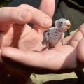 Догляд за пташенятами хвилястих папуг: найважливіші відомості