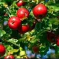 Стійкі до хвороб сорти яблуні