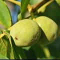 Зимова щеплення волоського горіха